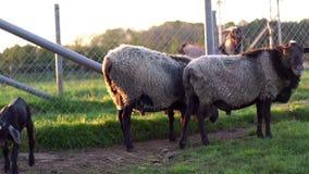 Goatling och anseende för två får på paddock på den lantliga lantgården jordbruks- industri stock video