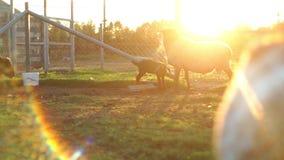 Goatling och fåranseende på paddock på den lantliga lantgården Föda upp litet nötkreatur arkivfilmer