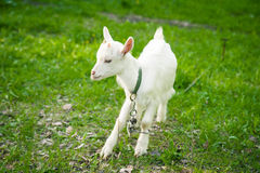 Goatling On Grass Stock Photo