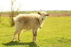 Goatling outdoors Royalty Free Stock Image