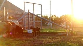 Goatling, ovejas y vaca colocándose en prado en la granja rural Aislado en el fondo blanco almacen de video