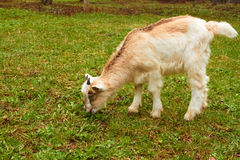 Goatling on the pasture Stock Photo