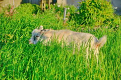 Goatling. Playing in the grass royalty free stock photography