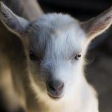 Goatling. Portrait about a little goatling on dark background stock photos