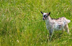 Goatling in the meadow. Goatling and shepherdess on the green meadow Stock Photography