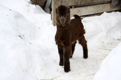 Goatling on snow Royalty Free Stock Photos