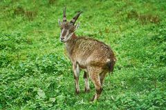 Goatling in the Grass. Goatling Standing on the Grass in Rainy Weather royalty free stock images
