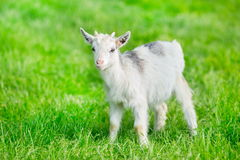 Goatling stands on meadow Royalty Free Stock Photos