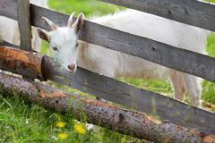 Goatling stuck his head between the fence boards Stock Photo