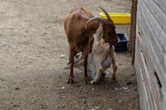 The goatling is sucking  goat udder. The goatling is sucking  mother goat udder stock image