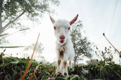 Goatling watching right in camera Royalty Free Stock Photo