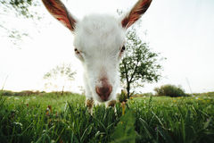 Goatling watching right in camera Stock Images