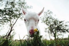 Goatling watching right in camera Stock Photo