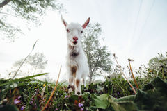 Goatling watching right in camera Royalty Free Stock Photography
