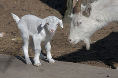 Goatling Stock Photos