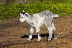 Goatling Royalty Free Stock Image