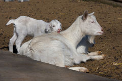 Goatling Royalty Free Stock Images