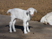 Goatling Stock Photography