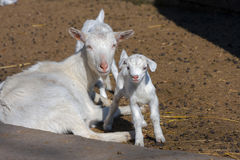 Goatling Royalty Free Stock Photo