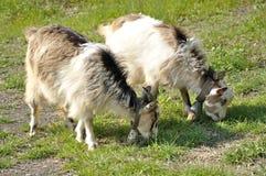2 goatlings с колоколами Стоковое фото RF