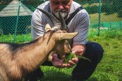 Goatlings affamé prenant le déjeuner Photo stock