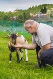 Goatlings affamé prenant le déjeuner Image libre de droits
