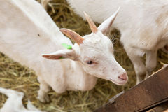 Goatlings on animal farm Royalty Free Stock Photography