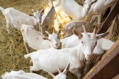 Goatlings on animal farm Royalty Free Stock Images