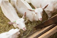 Goatlings on animal farm Stock Images