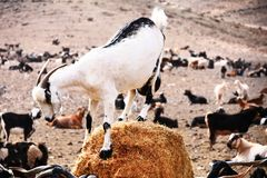 Goatlings com fome que toma o almoço Foto de Stock