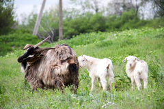 Goatlings with goat are grazing on grass in the village Royalty Free Stock Photography