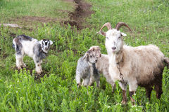 Goatlings with goat are grazing on grass in the village Royalty Free Stock Image