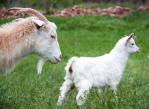 Goatlings with goat are grazing on grass in the village Royalty Free Stock Photo
