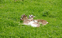 Goat lings on Grass Field. Two Small Goat lings Lie on Grass Field Royalty Free Stock Images