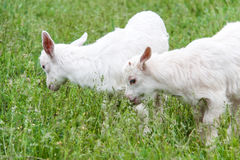 Goatlings are grazing on grass in the village Royalty Free Stock Photos