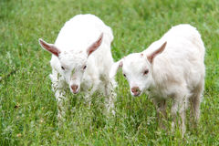 Goatlings are grazing on grass in the village Stock Photos