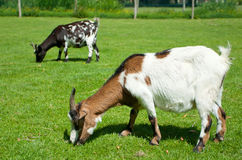 Goatlings on green grass Stock Photography