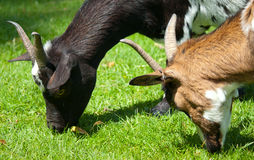 goatlings on green grass Stock Images