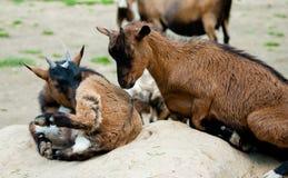 Goatlings on green grass Stock Image