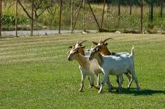 Goats. Four goats on a farm taking a walk Stock Photography
