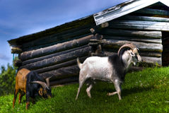 Goats. Two goats on the green grass Stock Image