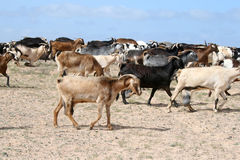 Goats. Group of goats walking together Royalty Free Stock Images
