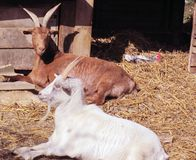 Goats. Turned out of their goat house by a bantam Stock Photo