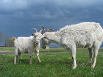 Goats Royalty Free Stock Images