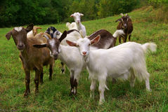 Free Goats Royalty Free Stock Image - 12550286