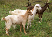 Goats. Herd of goats on mountain meadow stock photos