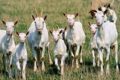 Free Goats Royalty Free Stock Images - 12876169