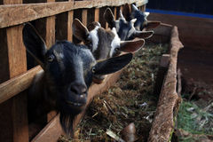 Goats. On a small African farm Royalty Free Stock Photo