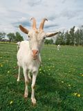 Goats. On the goat farm stock photos