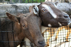 Goats. Sticking their heads through a hole in the fence to get a handout Royalty Free Stock Photography